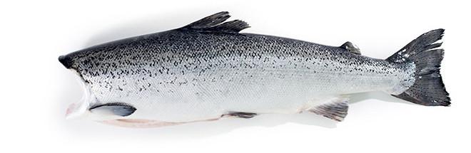 whole-salmon-head-off