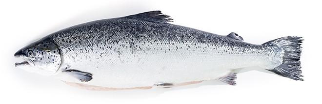 whole-salmon-head-on